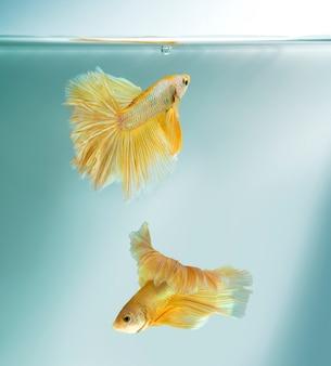 Бетта рыба плавание