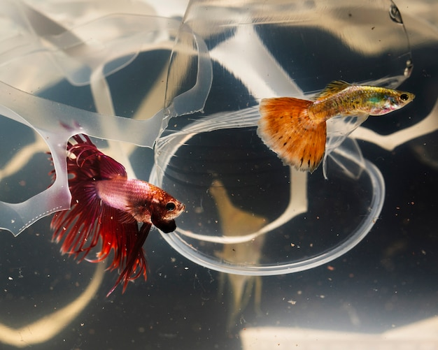 Betta fish trying to escape from plastic pollution