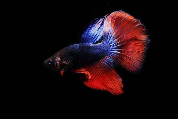 Betta fish with colorful