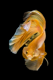 Движущийся момент прекрасного из betta fish на черном