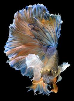 Разноцветные колышки бойцовской рыбы betta saimese