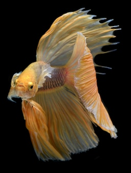 Betta saimeseの戦いの魚の黄色の黄金のカラフルな揺れ