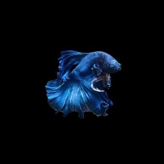 黒の背景に分離されたベタのシャムの戦いの魚