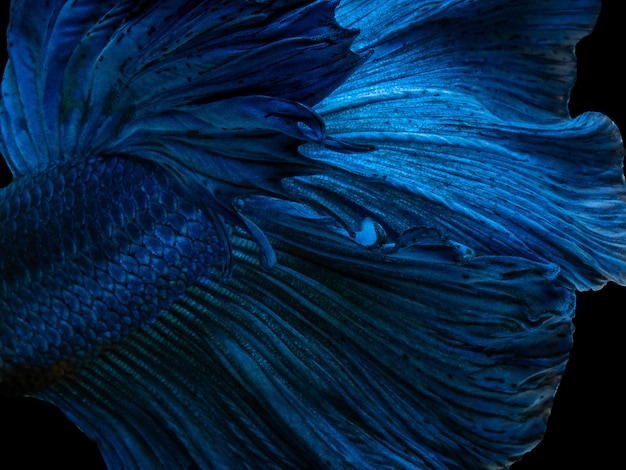 Betta siamese fighting fish, super blue glossy half moon long tail