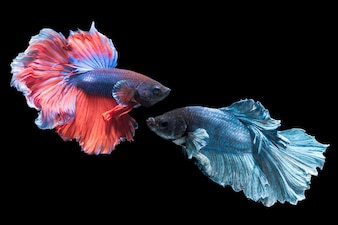 Betta splendens, beautiful red and blue fighting fish isolated on black background, fish fresh water
