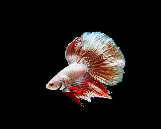 Betta splendens isolated on black background