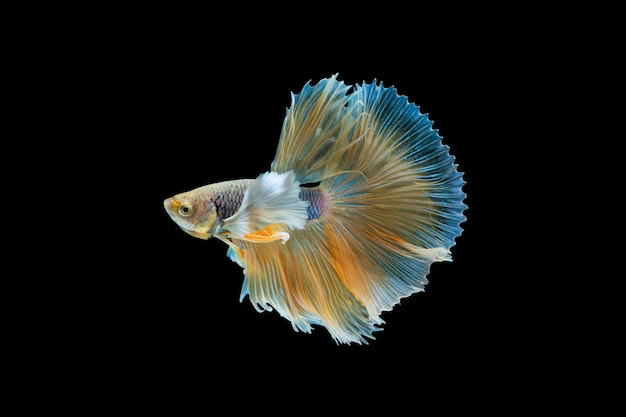 Betta splendens, siamese fighting fish