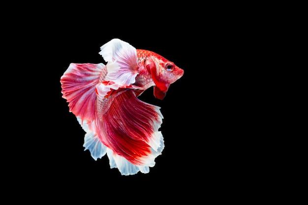 Betta splendens、シャムの戦いの魚