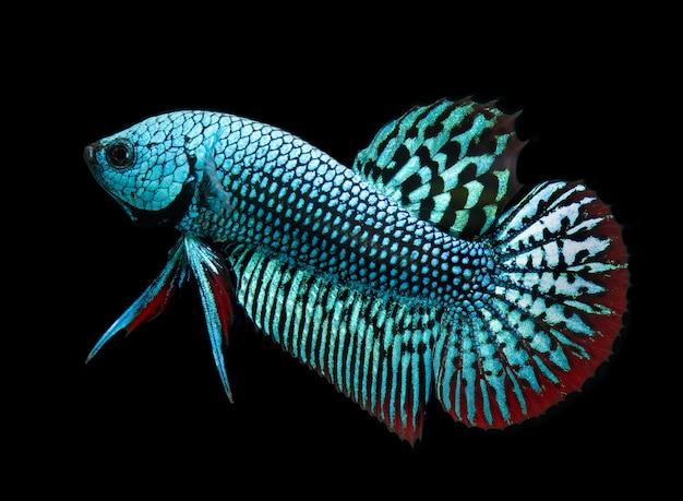 Дикая природа betta splendens или дикая сиамская рыба борьбы.