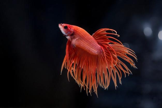 Борьба рыбы (betta splendens) рыба с красивым