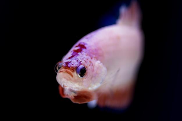 Борьба с рыбой (betta splendens)