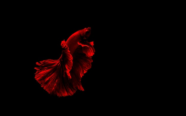 Bettaの魚、シャムの戦いの魚、ベタsplendens黒に分離