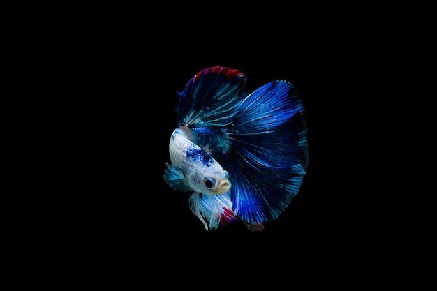 Betta splendensハーフムーン、カラフルなシャムの戦いの魚、黒い背景に魚の戦い、