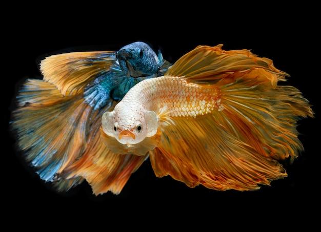 シルバーゴールドとブルーのロングハーフムーンbettaの魚。