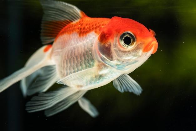 緑の背景をぼかした写真にクローズアップ焦点bettaの魚