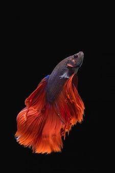 黒の背景でbettaの戦いの魚
