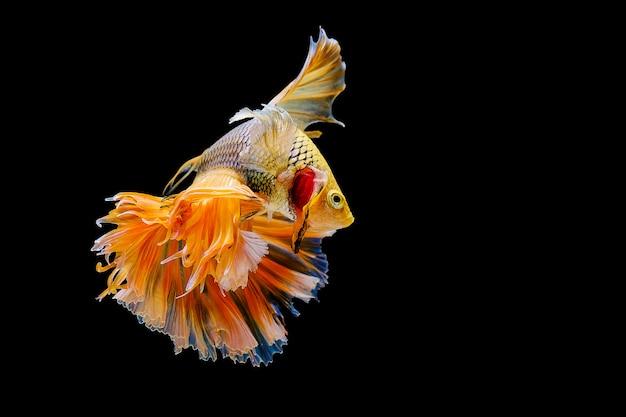 Bettaの魚、黒の背景にシャムの戦いの魚