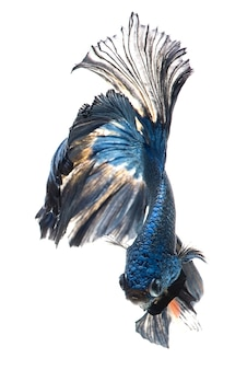 Bettaの魚または白い背景、タイの戦いの魚のシャムの戦いの魚