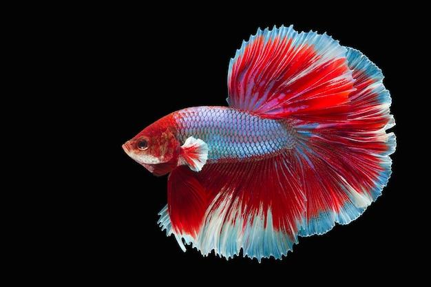 Движущийся момент прекрасной рыбы betta на черной стене