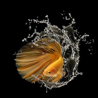 검은 배경에 bettafish에 고립 된 샴 싸우는 물고기의 움직이는 순간을 캡처