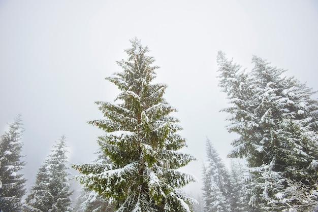 冬の凍るような日に森の中で雪に覆われた背の高いモミの木の魅惑的な船尾のパノラマ