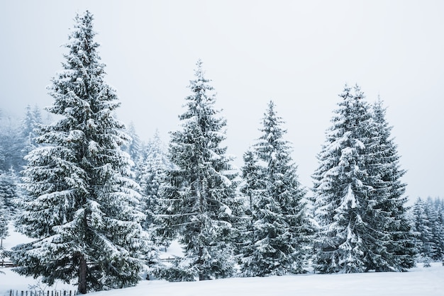 Bewitching stern panorama of tall fir trees covered with snow grow in the forest in winter frosty day. the concept of harsh northern nature and recreation in the countryside in winter