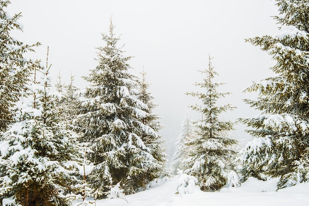 Bewitching stern panorama of tall fir trees covered with snow