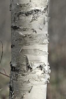 白biの木