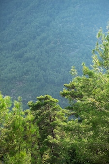 Bibrant aromatic coniferous trees in mountains, fortitude.