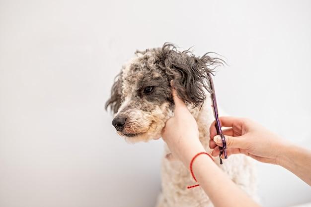 ビションフリーゼ犬がトリマーで髪を切る