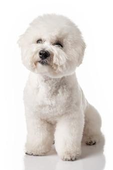 비숑 프리즈 강아지. 비촌은 흰색에 격리되어 있습니다. 흰 개. 손질 후 비촌