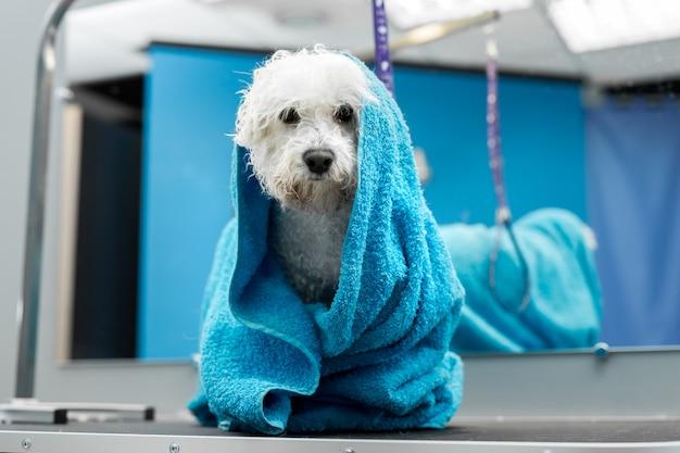 Конец-вверх влажного bichon frise обернутого в голубом полотенце на таблице на ветеринарной клинике. уход и забота о собаках. маленькая собачка была вымыта перед стрижкой, ей холодно и дрожит