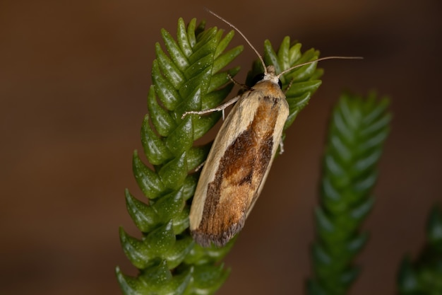 Bicolored bird ropping moth of the species ponometia