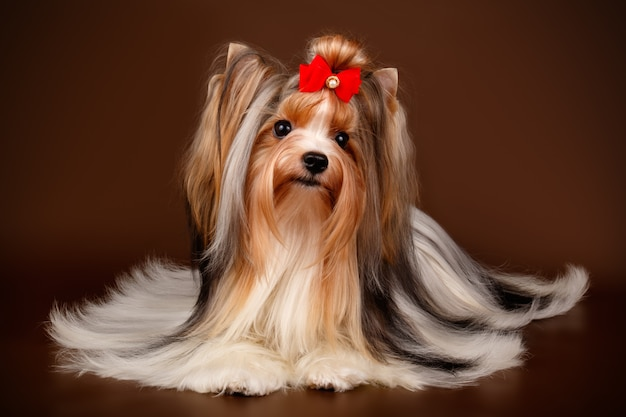 Biewer yorkshire terrier on brown background