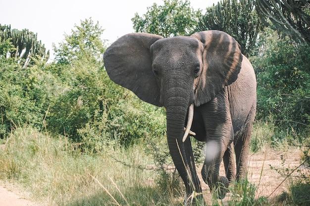 大きなアフリカゾウのサファリ写真