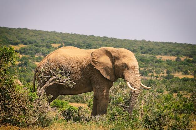 アッド国立公園、南アフリカの茂みの中を歩いて大きなアフリカ象