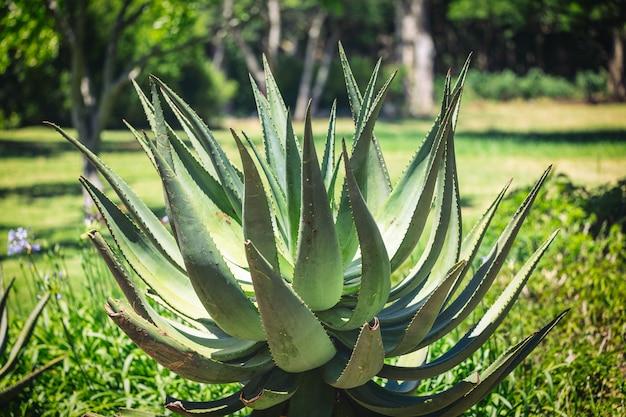 식물원에서 큰 용설란 식물