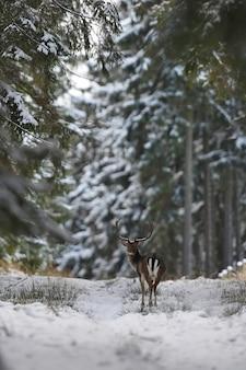 체코 공화국의 자연 서식지에서 크고 아름다운 휴경 사슴