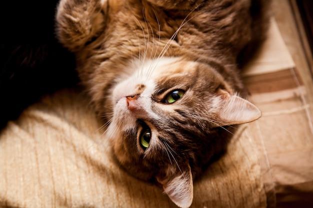 Большой и толстый кот с зелеными глазами, лежащий на диване