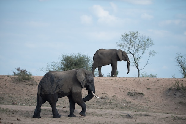 一緒に歩く大小のアフリカ象