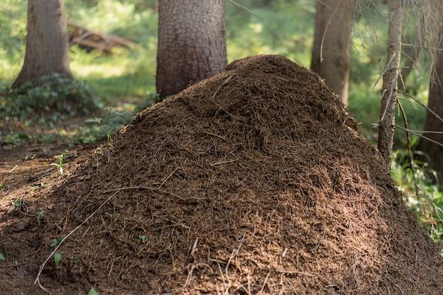 러시아 카렐리야의 숲에 있는 큰 개미 언덕