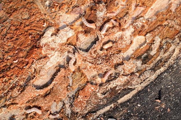 Большая кора окорока личинок в разрушающем древесину материале, используемом для изготовления различных деревянных вещей