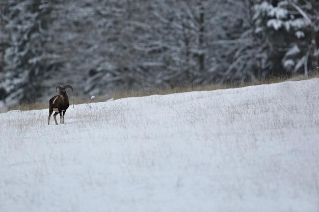 Big and beautiful fallow deer in the nature habitat in czech republic
