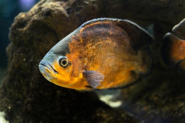 大きな美しい魚シクリッドastronostusオスカーは石のアクアスペースの間の池で泳ぎます
