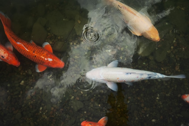 大きな美しい魚が睡蓮のいる池で泳ぎ、静かで美しいリラックスできる場所です