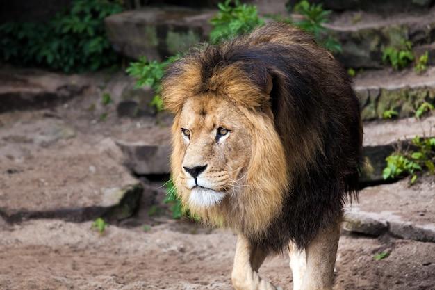 Большой красивый самец льва в зоопарке