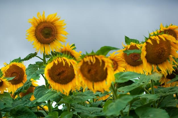 큰 아름 다운 해바라기 자연 배경입니다. 해바라기 꽃입니다.