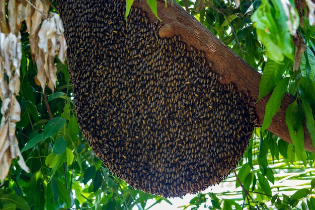 Big bee hive honeycomb on branch of tree in nature
