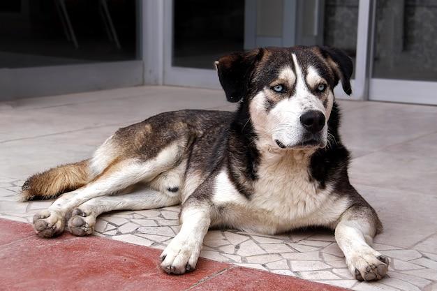 Большая черно-белая уличная собака с белыми глазами лежит на улице смотрит умными глазами