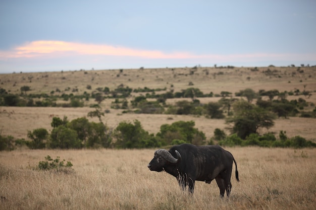 Big black buffalo on a field with the colorful clouds